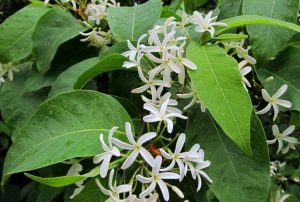 Read more about the article पांढरा कुडा  (Connessi bark tree)