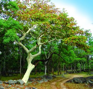 Read more about the article पांढरूक (Sterculia gum)