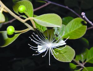 Read more about the article पाचुंदा (Caper)