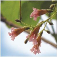 पाडळ (Fragrant padri tree)