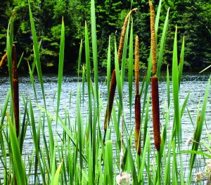 Read more about the article पाणकणीस (Bulrush)