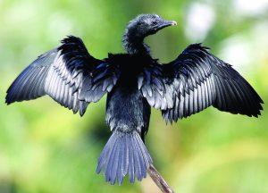 पाणकावळा (Cormorant)