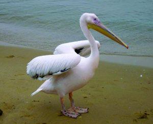 पाणकोळी (Pelican)