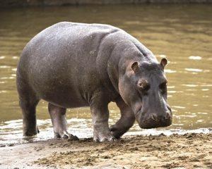 पाणघोडा (Hippopotamus)