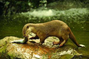 पाणमांजर (Otter)