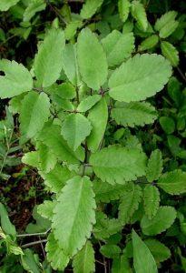 पानफुटी (Life plant)