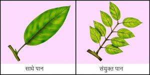 पान (Leaf)