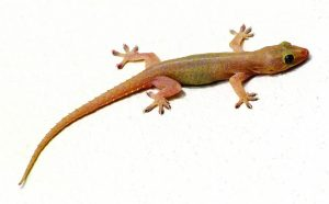 Read more about the article पाल (House lizard)