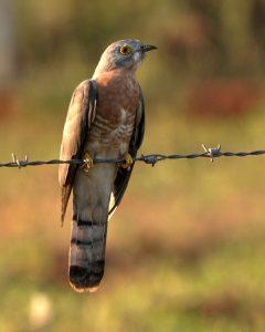 पावशा (Common hawk cuckoo)
