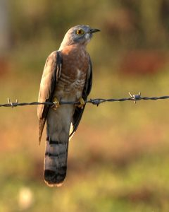 पावशा (Common hawk cuckoo)