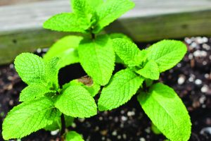 Read more about the article पुदिना (Corn mint)