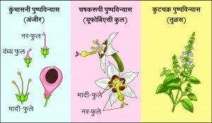 Read more about the article पुष्पविन्यास (Inflorescence)