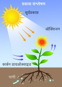 Read more about the article प्रकाशसंश्लेषण (Photosynthesis)