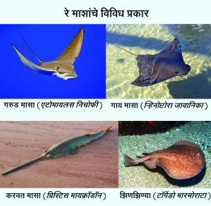 Read more about the article रे मासा (Ray fish)