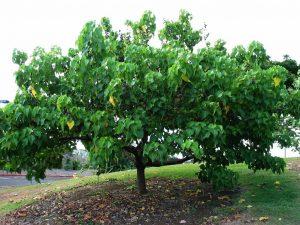 पारोसा पिंपळ (Portia tree)