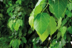 पिंपळ (Peepal tree)