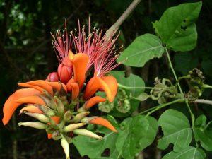 पांगारा (Indian coral tree)