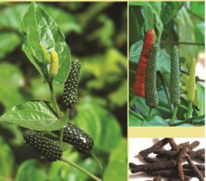 पिंपळी (Long pepper)
