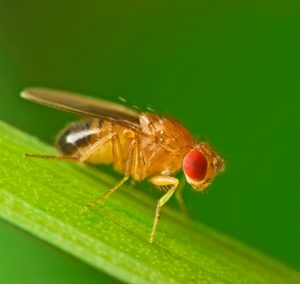 फळमाशी (Fruitfly)