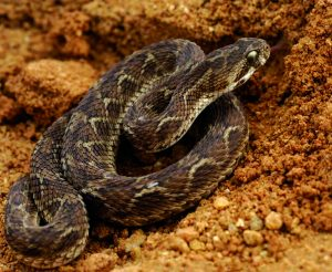 फुरसे (Saw scaled viper)