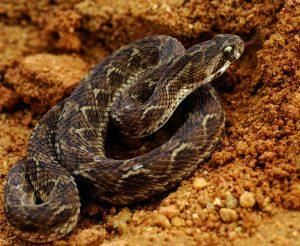 फुरसे (Saw scaled viper)