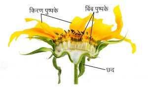 फूल (Flower)