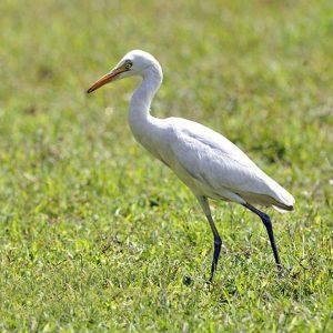 बगळा (Egret)