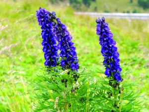 Read more about the article बचनाग (Aconite)