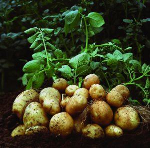 बटाटा (Potato)