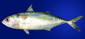 बांगडा (Indian mackerel)