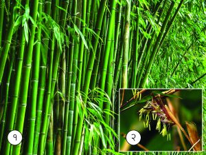 Read more about the article बांबू (Bamboo)