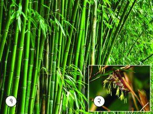 बांबू (Bamboo)