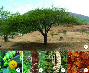 बाभूळ (Arabic gum tree)