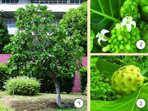 बारतोंडी (Indian mulberry)