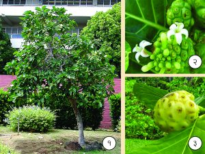 Read more about the article बारतोंडी (Indian mulberry)