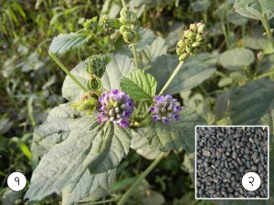 Read more about the article बावची (Psoralea)