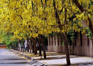 बाहवा (Golden shower tree)