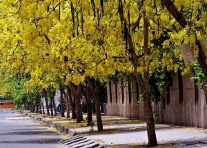 बाहवा (Golden shower tree)