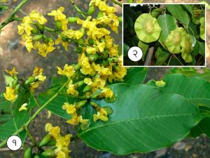 Read more about the article बिबळा (Indian kino tree)