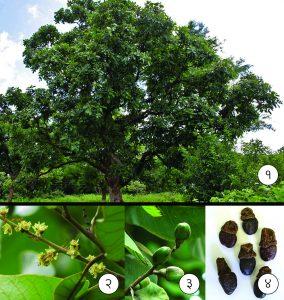बिब्बा (Marking nut tree)