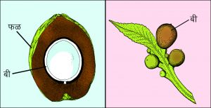 बीज (Seed)