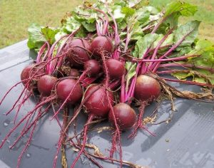बीट (Beetroot)