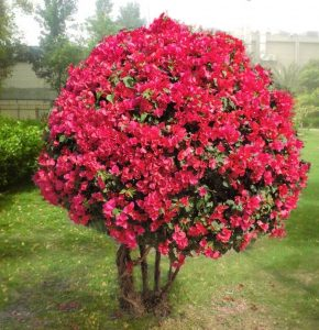 Read more about the article बुगनविलिया (Bougainvillea)