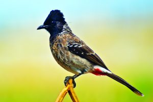 Read more about the article बुलबुल (Bulbul)