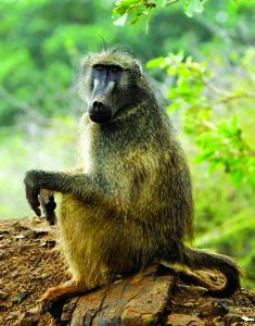 Read more about the article बॅबून (Baboon)