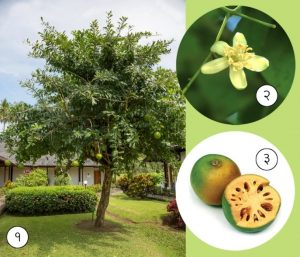 Read more about the article बेल (Bael tree)