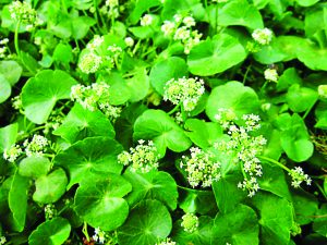 ब्राह्मी (Indian pennywort)