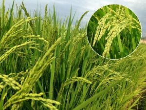 Read more about the article भात (Rice)