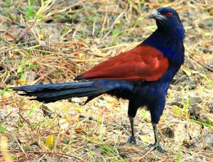 भारद्वाज (Crow pheasant)