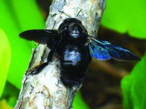 Read more about the article भुंगा (Carpenter bee)